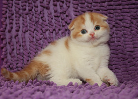 Фортуна Девочка породы Шотландская вислоухая (Scottish Fold)